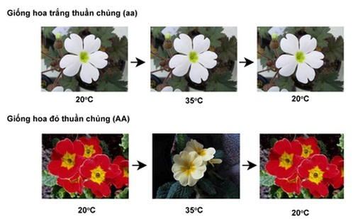 Ảnh hưởng của nhiệt độ lên màu hoa Anh Thào