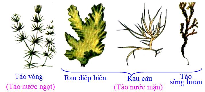 Một số loại tảo nước ngọt và nước mặn