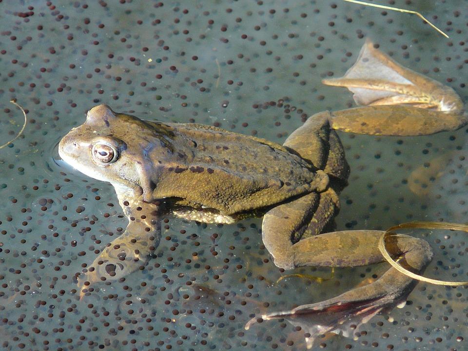 Thụ tinh ngoài ở ếch