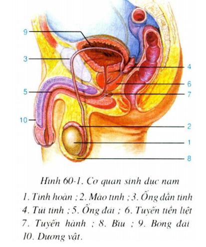 Các bộ phận của cơ quan sinh dục nam