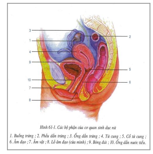 Các bộ phận của cơ quan sinh dục nữ