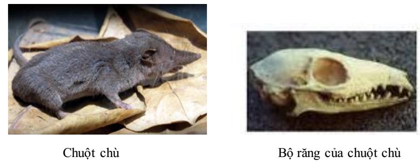 Chuột và bộ răng của chuột