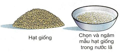 Thực hành: Xác định sức nảy mầm và tỉ lệ nảy mầm của hạt giống