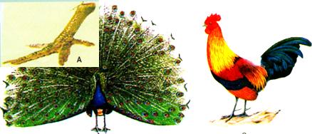 Bộ Gà (Chim đào bới)