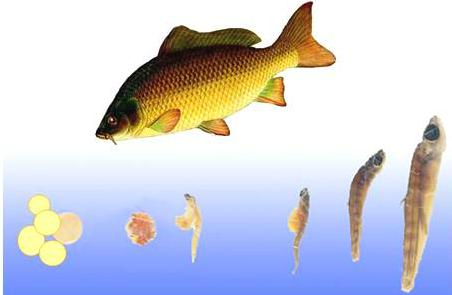 Sinh sản cá chép