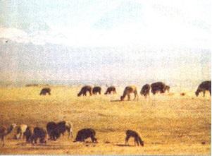 Chăn nuôi lạc đà LaMa ở vùng núi Nam Mĩ