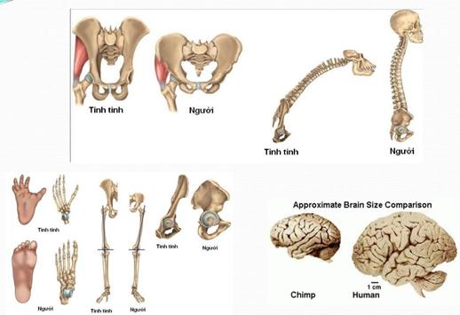 Sự phát triển về bộ xương của người so với động vật khác