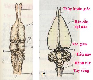 Sơ đồ cấu tạo não của thằn lằn và thỏ