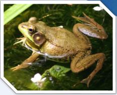 ếch đồng