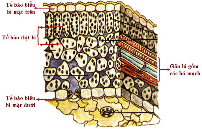 Sơ đồ cấu tạo một phiến lá có độ phóng đại lớn