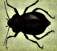 Cánh cứng bọ