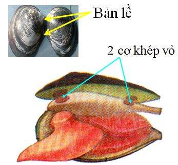 Bản lề và 2 cơ khép vỏ của Trai sông