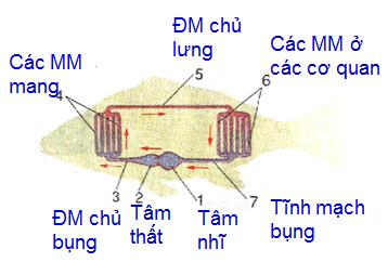 Sơ đồ hệ tuần hoàn của cá