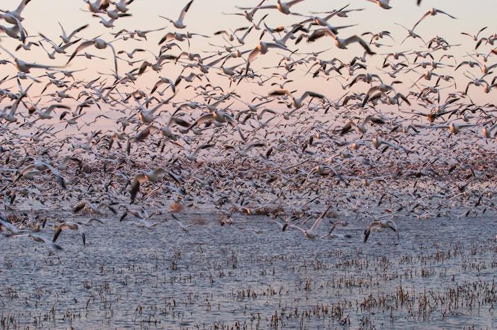di cư của chim