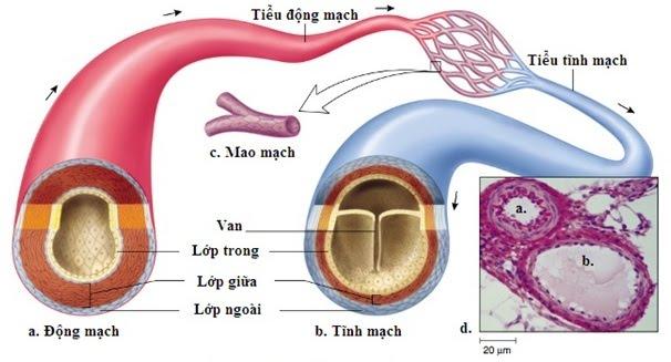 Cấu tạo của mạch máu