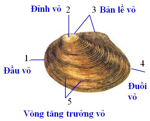 Hình dạng cấu tạo của vỏ trai