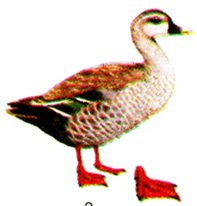 Bộ ngỗng (Chim ở nước)
