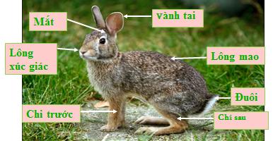 Cấu tạo ngoài của Thỏ