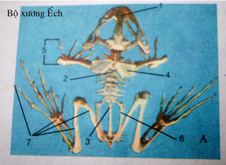 Bộ xương ếch