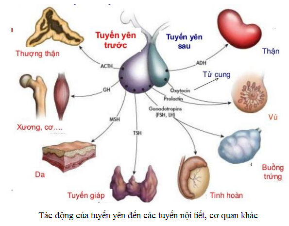 Tác động của tuyến yên đến các tuyến nội tiết, cơ quan khác