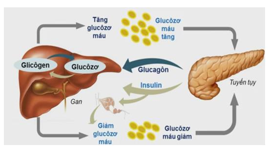 Vai trò của hoocmon tuyến tụy