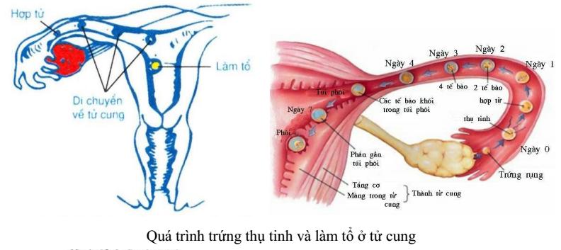 Qúa trình  trứng thụ tinh và làm tổ ở tử cung