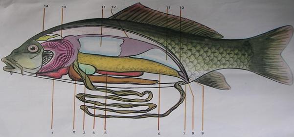 Sơ đồ cấu tạo cá chép