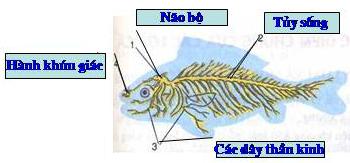 Sơ đồ hệ thần kinh của cá chép