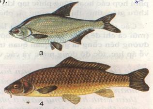 Cá vền, cá chép