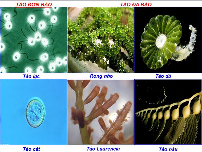 Tảo đơn bài, tảo đa bào