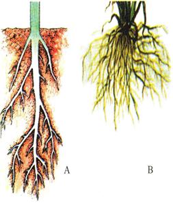 Các loại rễ