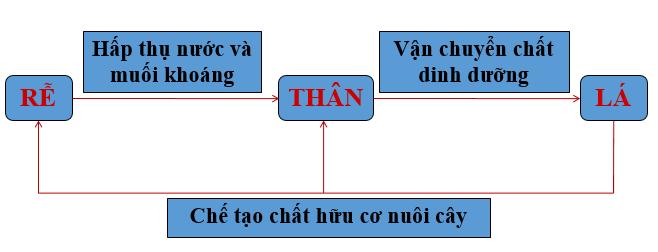 Mối quan hệ về chức năng của rễ, thân, lá