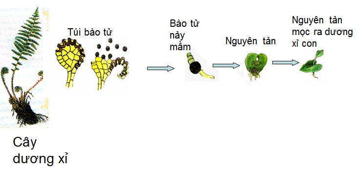 Quá trình phát triển của dương xỉ