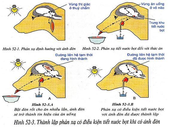 Thành lập phản xạ có điều kiện tiết nước bọt khi có ánh đèn
