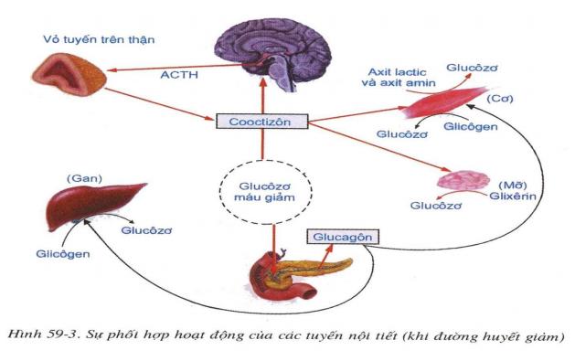 Sự phối hợp hoạt động của các tuyến nội tiết