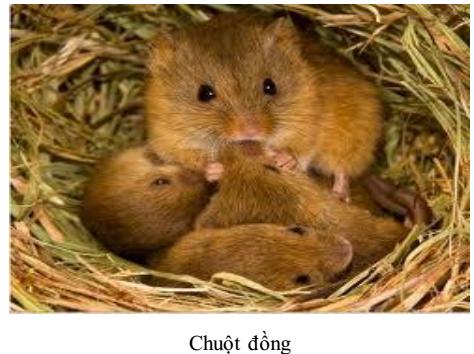 Chuột đồng