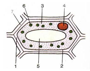Cấu tạo tế bào thực vật