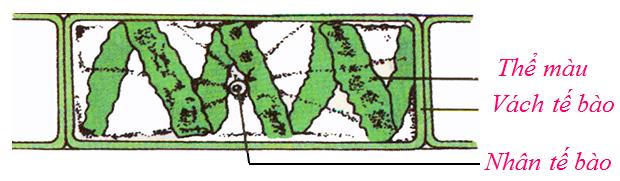 Hình dạng và cấu tạo tế bào của một phần sợi tảo xoắn