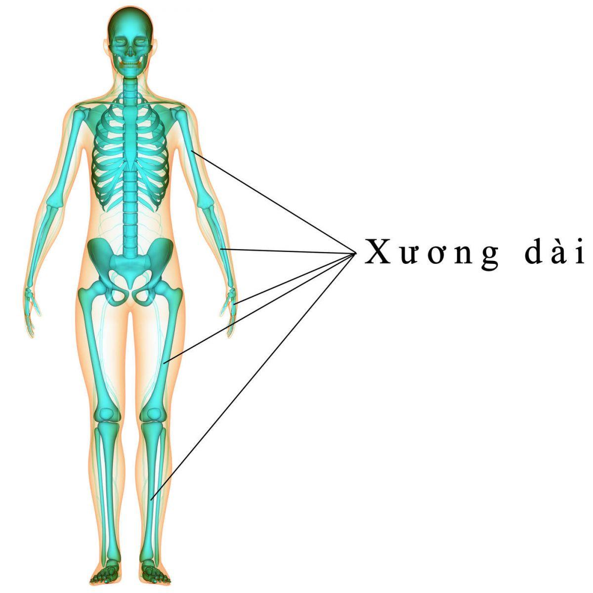 Kết quả hình ảnh cho các loại xương dài