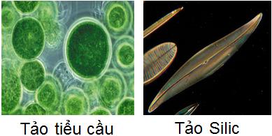 Tảo tiểu cầu, tảo silic