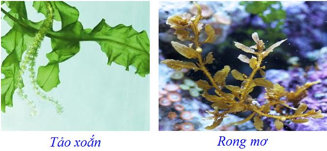 So sánh tảo xoắn và rong mơ