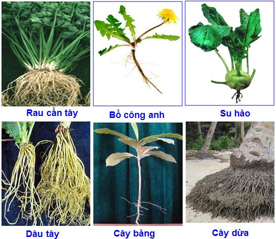 Một số loại cây rễ cọc và rễ chùm