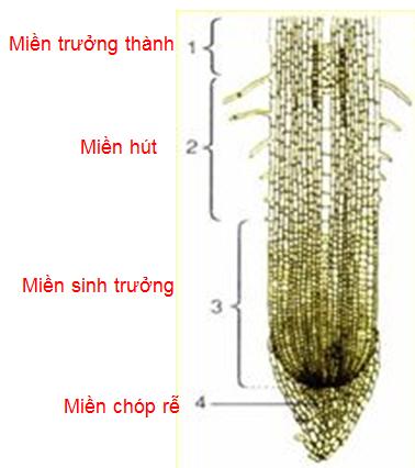 Các miền của rễ