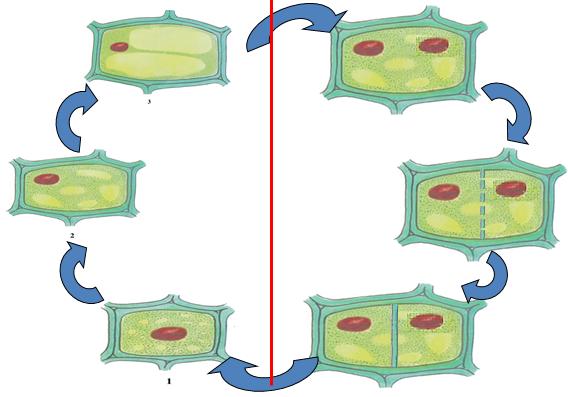 Mối quan hệ giữa sự lớn lên và phân chia của tế bào