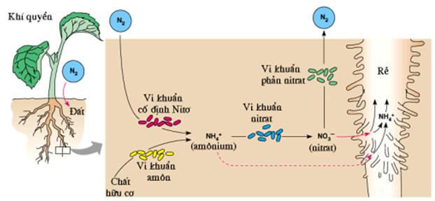 Quá trình chuyển hoá nitơ