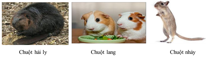 Chuột hải ly