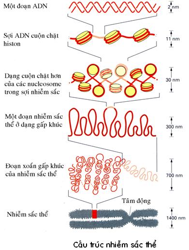 Cấu trúc đơn vị NST