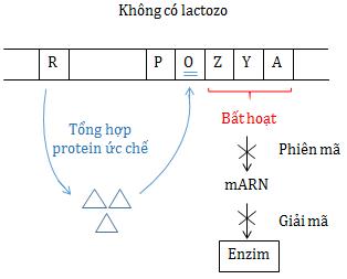 Điều hoà hoạt động gen trong môi trường không có Lactozo