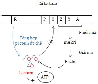 Điều hoà hoạt dộng của gen trong môi trường có Lactozo