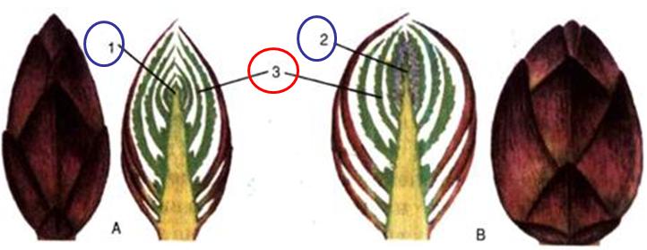 Cấu tạo của chồi lá và chồi hoa